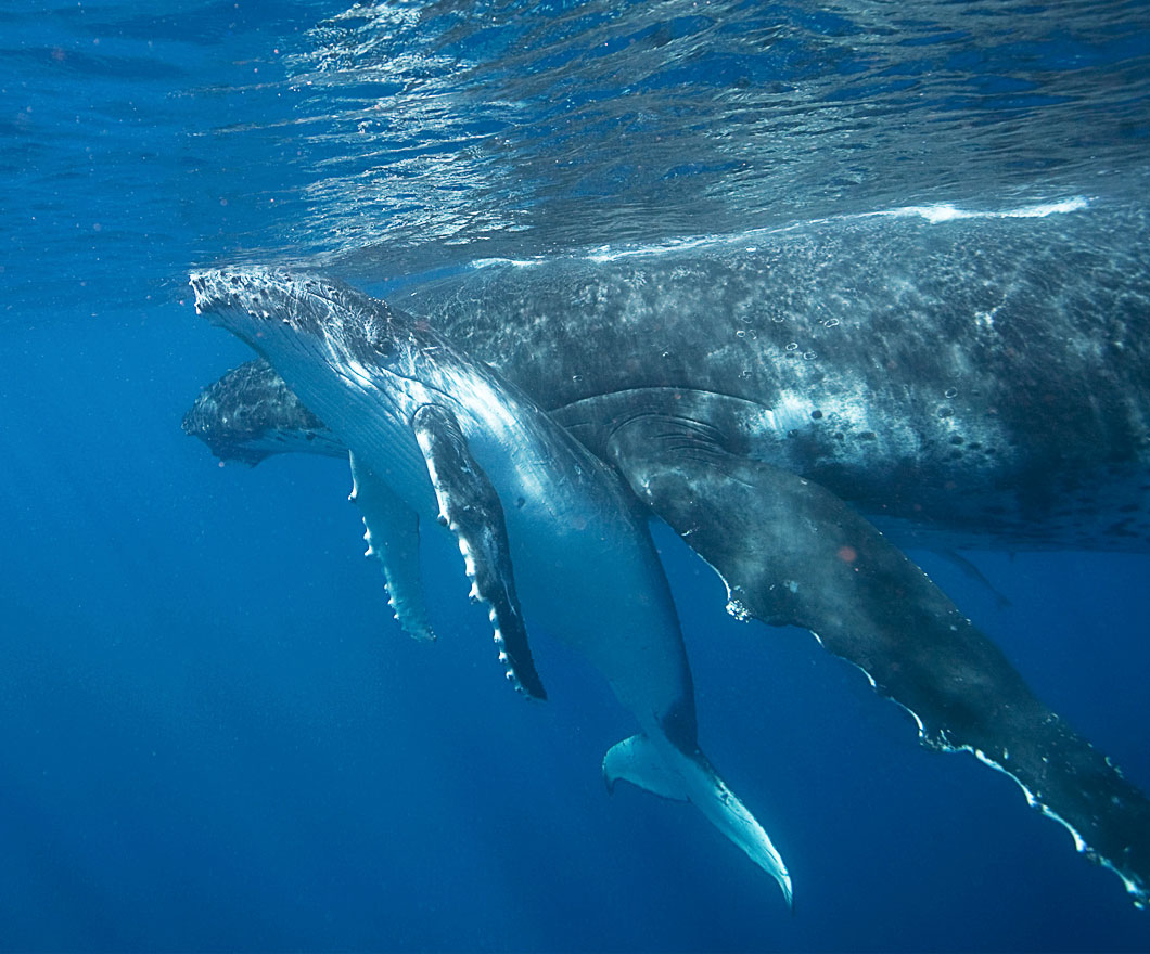 Mother whale and a calf