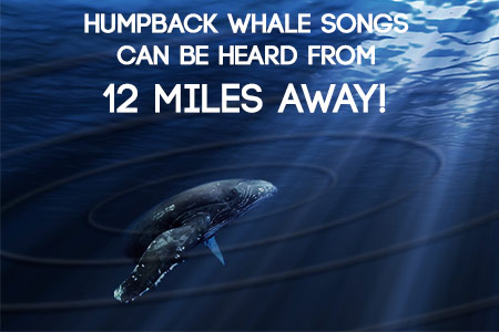 maui whale songs