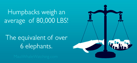 maui humpback weight