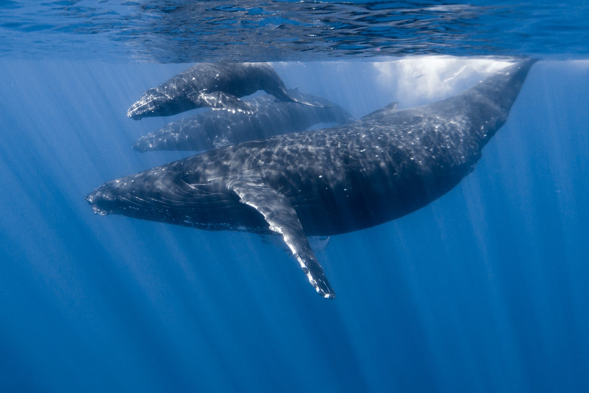 Maui Whale Watching Guide | Humpback Whales in Hawaii